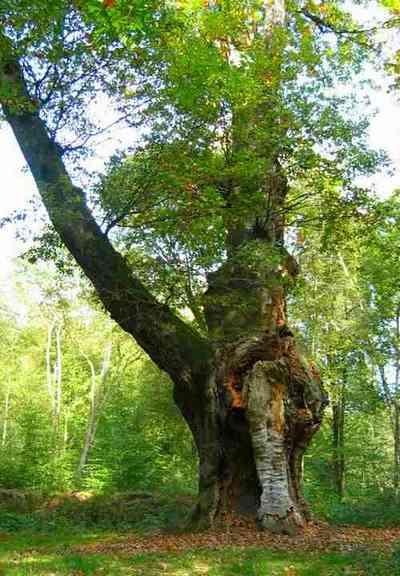 Chêne - Forêt de Compiègne